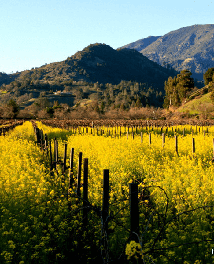Mustard and Mount St. Helena. Photo Ivan Miller