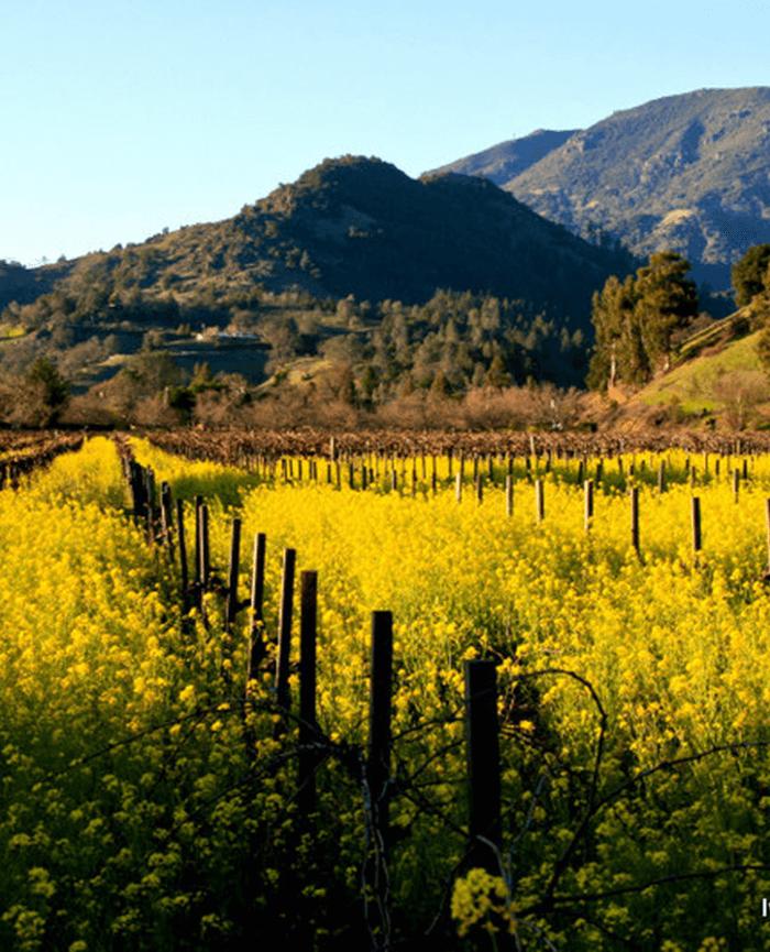 Mustard and Mount St. Helena. Photo Ivan Miller